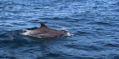 Dolphin Watching Oman